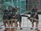 重庆九龙坡实体店出售 德牧 家养犬 保存活当面签协议