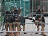 养殖场常年出售纯种德国牧羊犬弓背弯腿骨骼肌肉健康