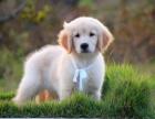 自家繁殖 金毛幼犬 上门可优惠 品相保证