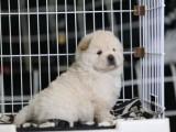 犬舍出售多种颜色的松狮犬 性格独立机敏值得拥有