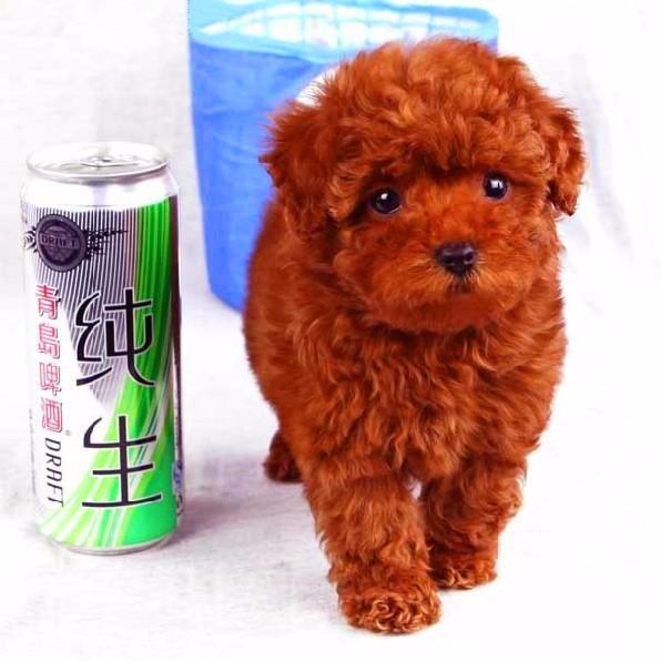 上海最大泰迪犬舍 上海西贝犬舍 70多只挑选 签协议颜色都有