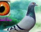 长江鸽业送爱亚卡普公棚