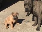 出售卡斯罗铁面幼犬