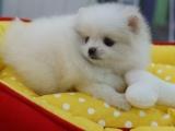 完美博美犬热卖 实物拍摄 品质超健康 有保障签协议