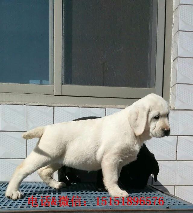 常州哪里卖拉布拉多狗 常州拉布拉多的价格是多少