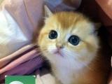 特价繁殖英短银渐层 蓝猫 加菲猫 金吉拉 保障健康