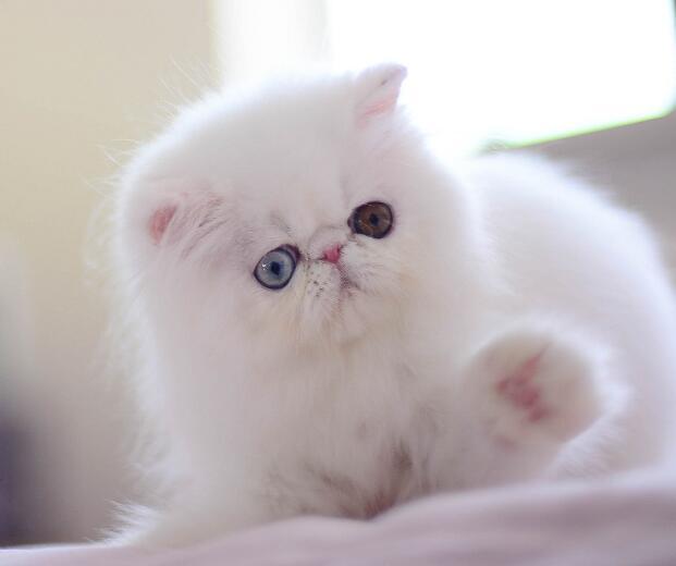 自家加菲猫 精品猫 疫苗做好同城可以送上付门款