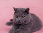 太原、萌猫生活馆英短、美短种公、预约幼崽对外借配
