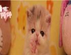 出售波斯猫、专业繁殖、实物拍摄、正规猫舍