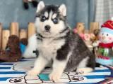珠海哪里卖哈士奇 珠海哈士奇犬舍 珠海灰色哈士奇价格