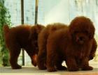 出售纯种黑色泰迪棕色泰迪 白色泰迪犬