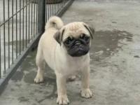 出售纯种巴哥幼犬 . 包健康.包纯种 签协议.可实地