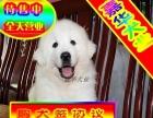 终身售后大白熊犬签订协议来场见狗父母 可送货