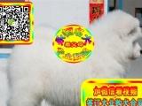 纯种健康 萨摩幼 犬——纯种健康专业狗场繁殖——签协议