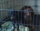 自家大狗生了一窝杜宾犬可以上门看狗父母
