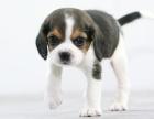 郑州本地犬舍出售纯种 比格幼犬 同城可送货 保存活