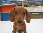 温州哪有腊肠犬卖 温州腊肠犬价格 温州腊肠犬多少钱