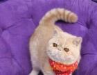 纯种加菲猫异国短毛猫黄白虎斑加菲公母均有