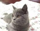 一岁半怀孕母蓝猫米娜找新家