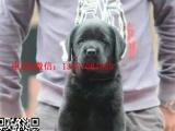 纯种健康拉拉幼犬—实物拍摄——保纯种健康——签署协议