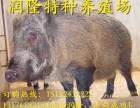 什么地方能买到纯种野猪 哪里有卖野猪苗的