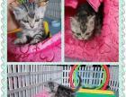 美短2月龄幼猫,一公一母火热抢购【派多格盛世桃城】