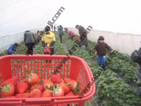 上海农家乐推荐 采草莓钓大鱼 吃土菜烧烤棋牌住宿
