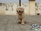 出售纯种金毛幼犬 哪里卖健康金毛多少钱 金毛价格