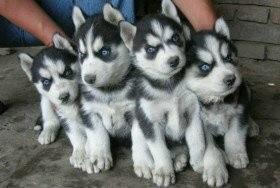 漳州最大犬舍直销泰迪博美哈士奇金毛萨摩秋田德牧阿拉等各种名犬