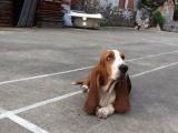 家养一窝纯种巴吉度可以签协议 来家里看狗父母