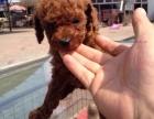 精品玩具泰迪幼犬 顏色全數量多 中國最大養殖基地