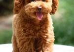 纯种贵宾犬专业养殖包健康 量大可优惠