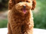 泰迪幼犬,纯种泰迪 包健康 全国包邮