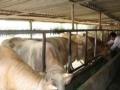 急急急合作社低价急售肉牛