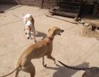 惠比特格力犬纯白灵缇犬出售全活,可试相中的电话聊