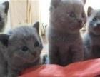 英短蓝猫 蓝白 加菲猫 公 母 支持掏宝交易