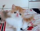 双血统加菲以及各种宠物猫 签协议 终身保障