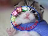 自家貓舍繁育一窩折耳包純種 包健康