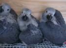出售人工繁殖灰鹦鹉 金刚鹦鹉 葵花鹦鹉 鹦鹉 善学说话
