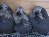 出售人工繁殖灰鸚鵡 金剛鸚鵡 葵花鸚鵡 亞馬遜鸚鵡 善學說話