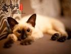 哪里有纯种暹罗猫基地 上海爱宠网 多只挑选