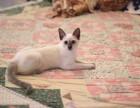 弟弟妹妹都有自家养殖种猫繁殖纯种健康暹罗幼猫可以上门挑选