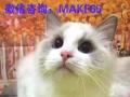 布偶猫超级漂亮大开脸眼影种公对外配种啦 喜欢的看过