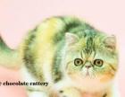 巧克力名猫 CFA异国短毛猫加菲猫波斯猫