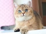 猫舍繁殖渐层猫 6疫苗驱虫做好
