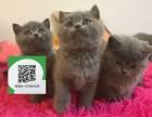 深圳在哪里卖健康纯种宠物猫 深圳哪里出售蓝猫