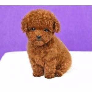出售纯种泰迪犬茶杯幼犬超小体玩具型贵宾犬家养活体宠物狗狗