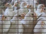 供应罗曼粉鸡苗,罗曼粉青年鸡,罗曼粉育成