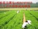 占地葡萄苗出售基地苹果种苗