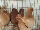 三亚常年低价出售元宝鸽 观赏鸽肉鸽